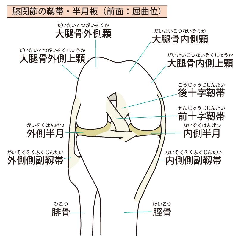 膝解剖 イラスト